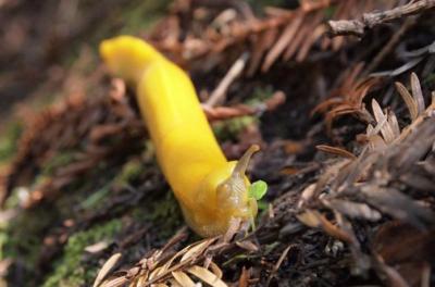 Animals in Winter: The Banana Slug