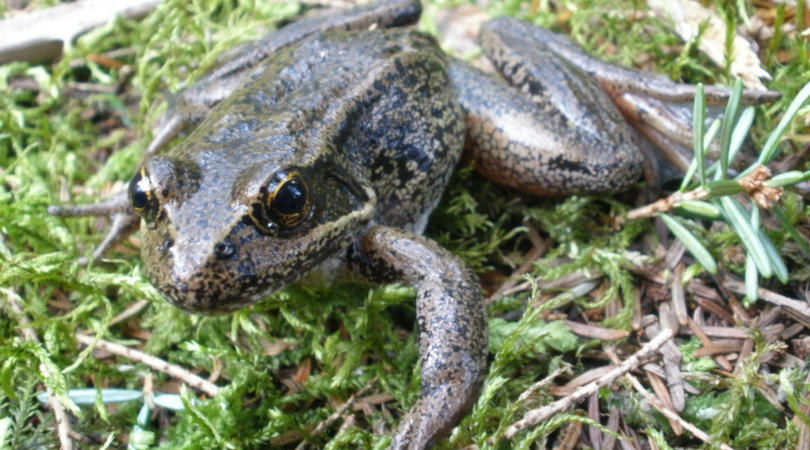 Animals in Winter: Northern Red-Legged Frog