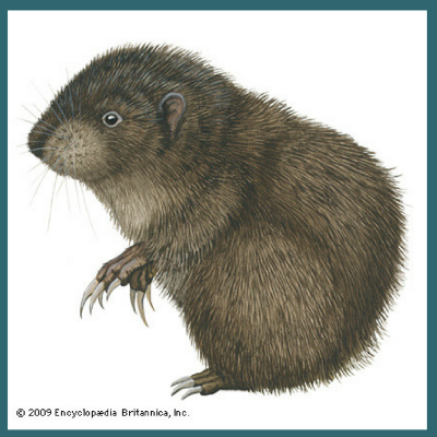 Animals in Winter: The Mountain Beaver