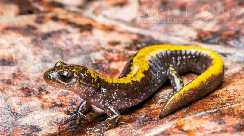 Animals in Winter: The Long-toed Salamander