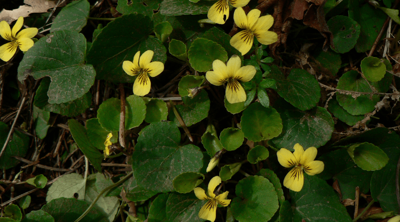 Native Plant of the Month: Evergreen Violet