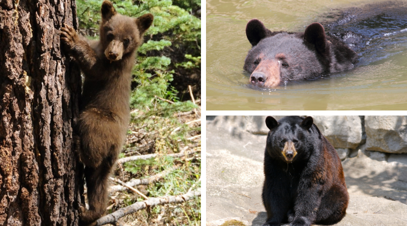 Native Animal of the Month: Black Bear