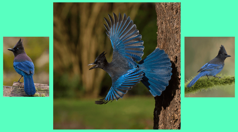 Native Animal of the Month: Stellar's Jay