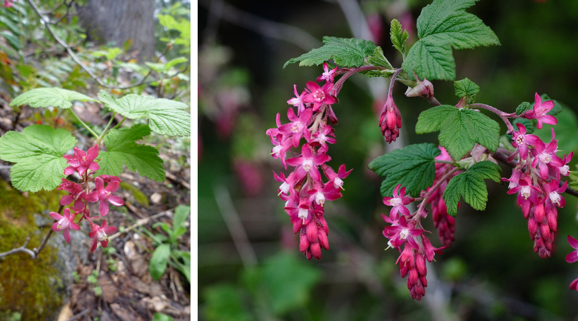 Native Plant of the Month: Red flowering currant