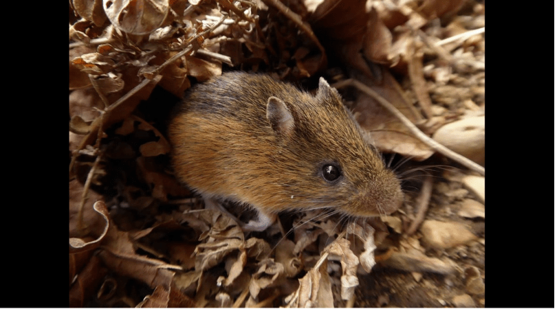 Native Animal of the Month: Pacific jumping mouse