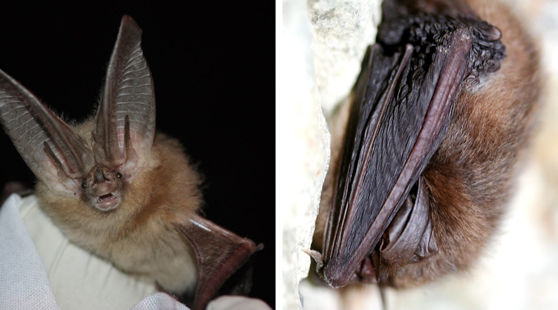Native Animal of the Month: Townshed's Big Eared Bat