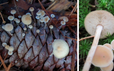 "Native ""Plant"" (Fungi) of the Month: Conifercone cap"