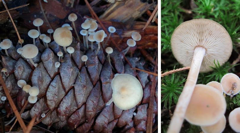 "Native ""Plant"" (Fungi) of the Month: Conifercone cap"