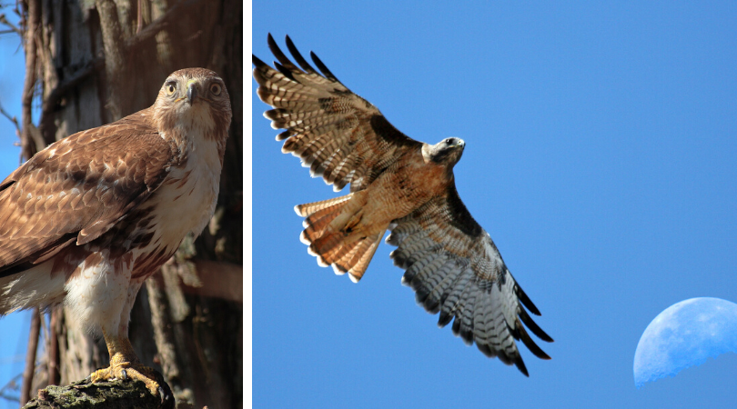 Native Animal of the Month: Red-tailed hawk