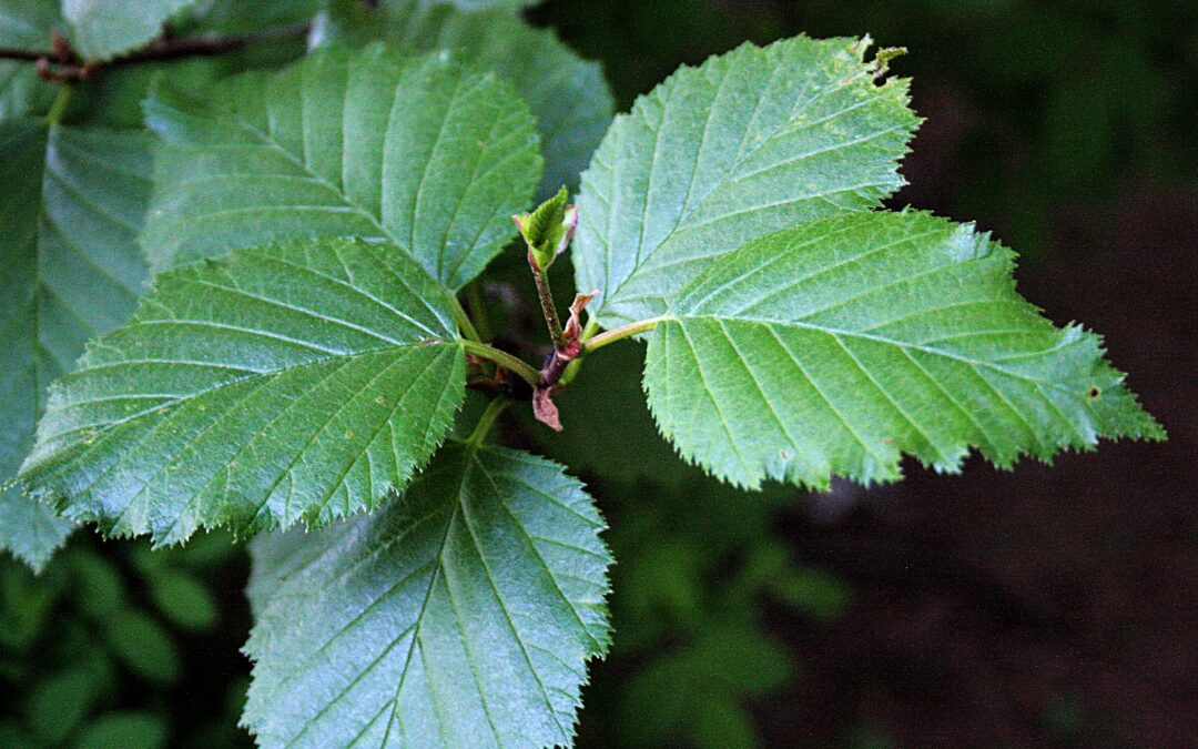 Native Plant of the Month: Sitka Alder