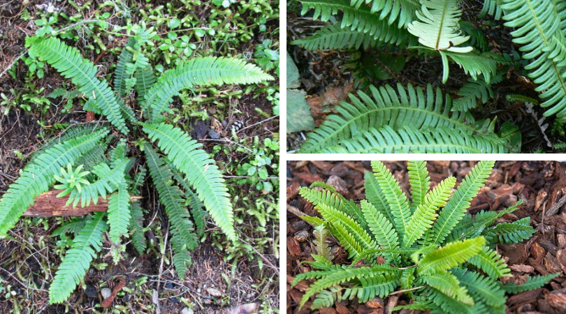 Native of the Month: Deer fern