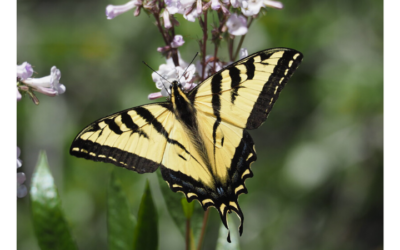 Native of the Month: Western tiger swallowtail