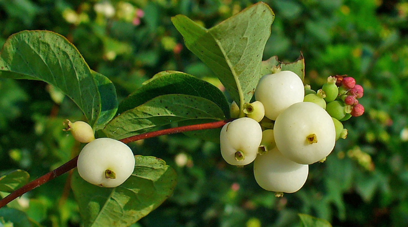 Native of the Month: Snowberry