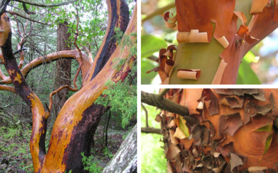 Native Plant of the Month: Pacific madrone