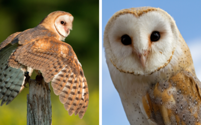 Native of the Month: Barn Owl