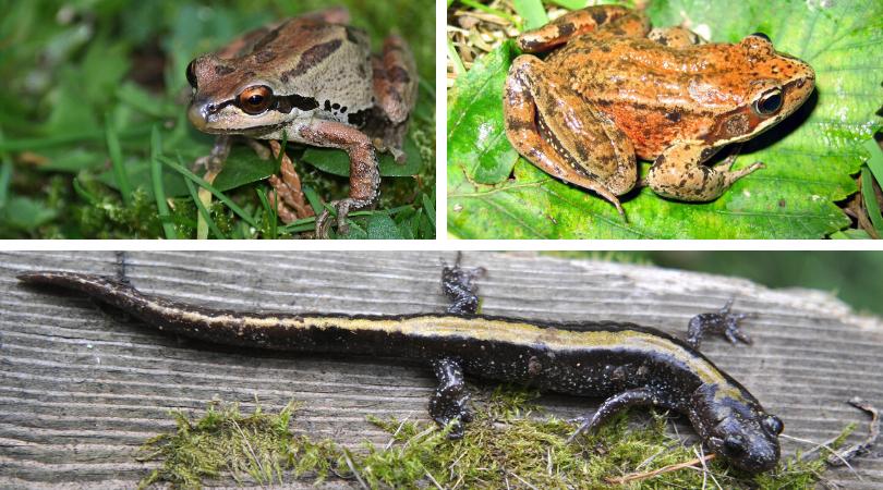 Amazing Amphibians