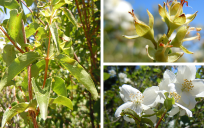 Native of the Month: Mock Orange
