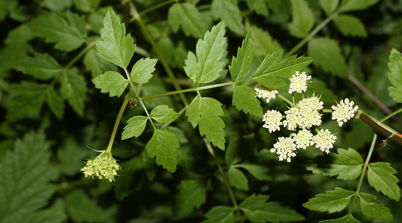 Native Plant of the Month: Pacific water parsley