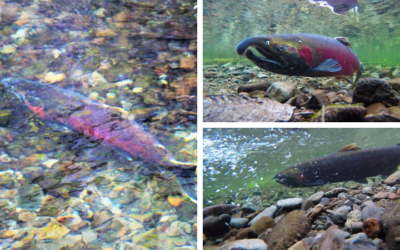 Native of the Month: Coho salmon
