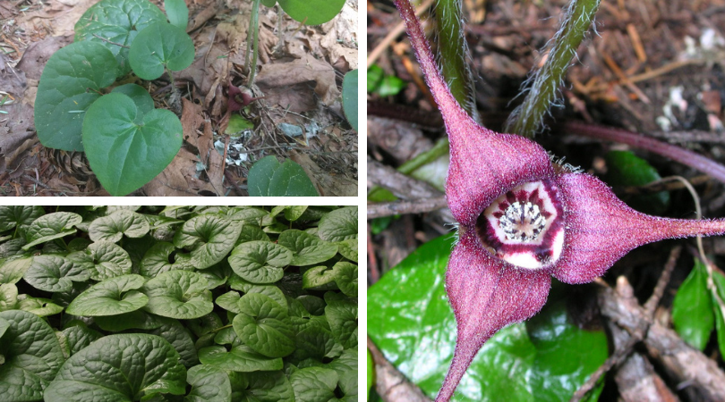 Native of the Month: Wild Ginger