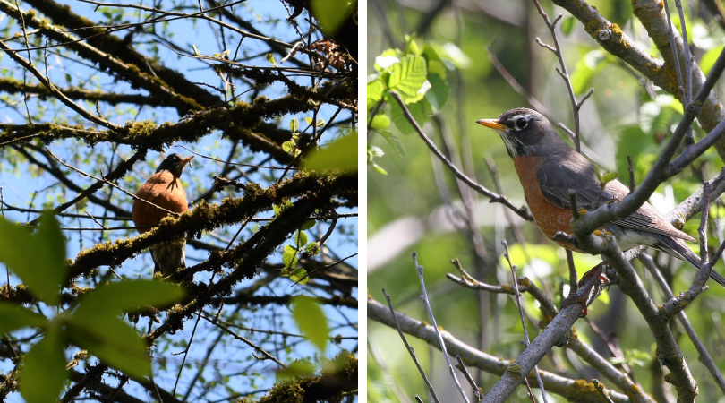 Native of the Month: American Robin