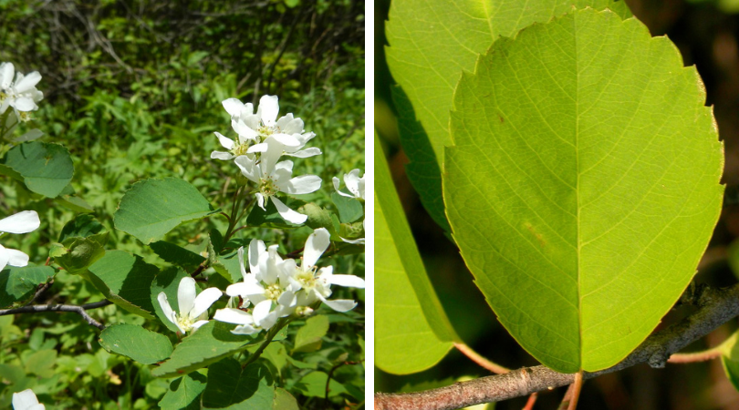 Native of the Month: Serviceberry