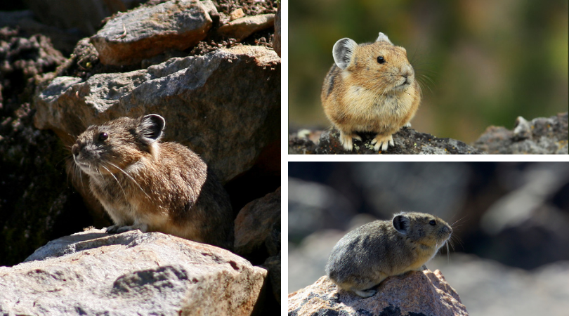 Native of the Month: American Pika