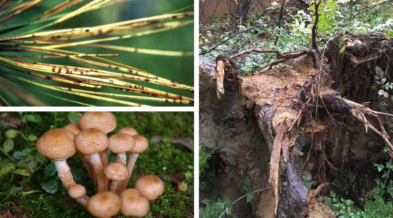 Pacific Northwest Native Tree Diseases