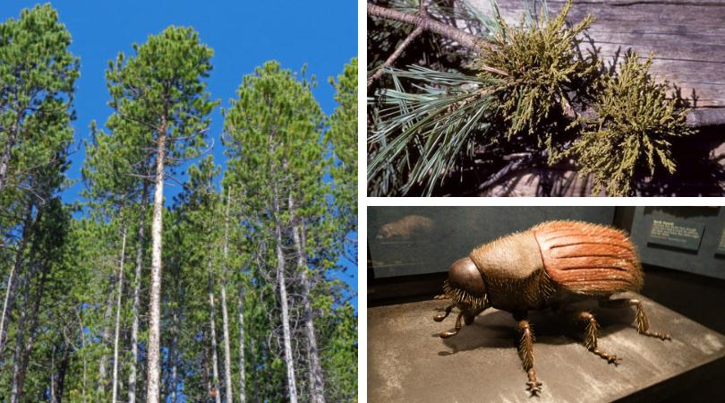 Effects of Dwarf Mistletoe on Lodgepole Pine Forests